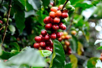 Listy a plody kávovníku