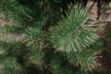 Pinus silvetris