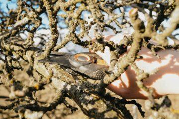 prořezávání jabloňového stromu_fotka