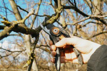 prostřihávní ořechu