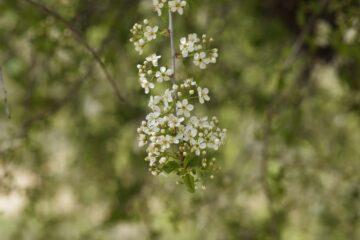 prunus cesarus jarní řez v květu_naturhelp