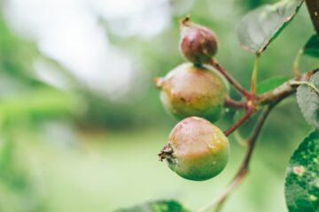 Malé plody jabloně na větvni_Naturhelp.cz_stromky a sazenice
