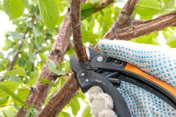 Nůžky v ruce zahradníka při jarním řezu třešní
