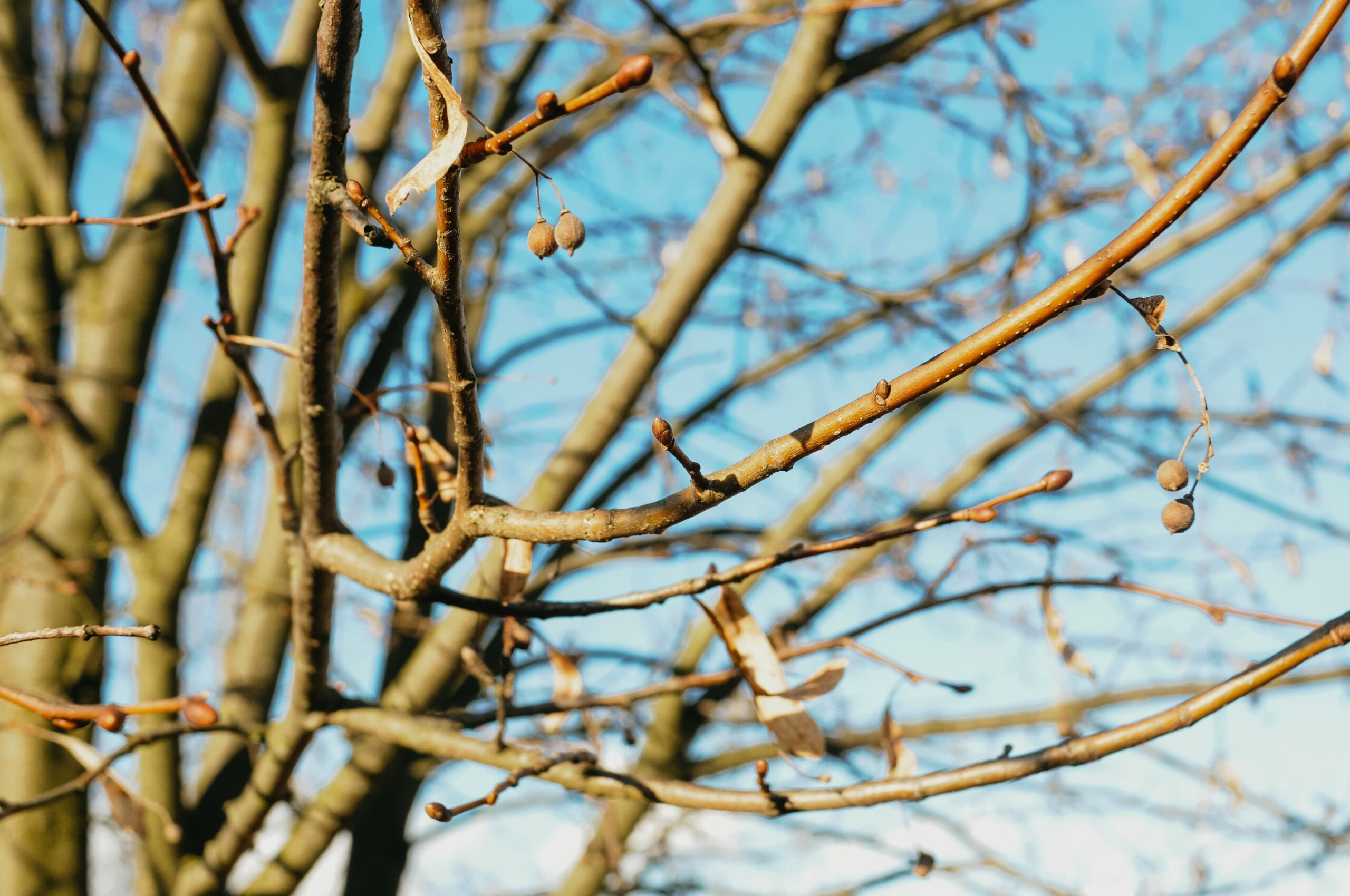 Pupeny lípy a staré plody v předjaří