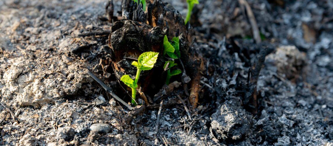 Spálené stanoviště ze kterého vyrůstají nové rostliny