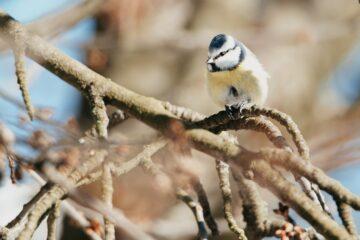 Sýkora modřinka v zimě na větvi