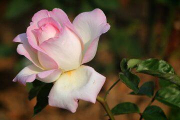 Okrasná zahradní růže řízkování